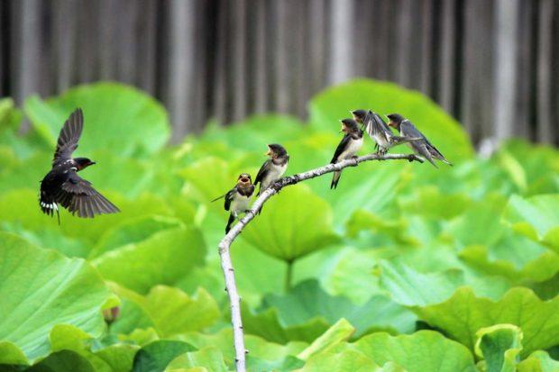 鵠沼はす池「舞妃蓮」3千輪咲き誇る~7月まで見ごろ【藤沢市】