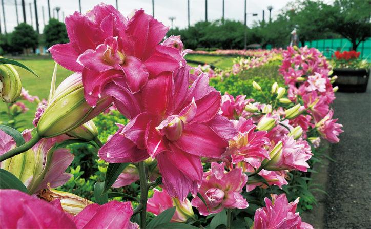 瀬谷本郷公園 八重咲きのユリ約1万輪咲きほこる