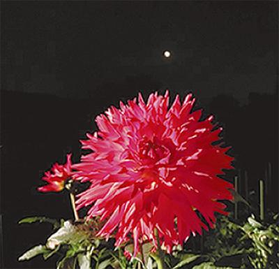 ダリアの丘で噴水ライトアップや演奏会「月夜のダリア園」町田で10月3連休開催