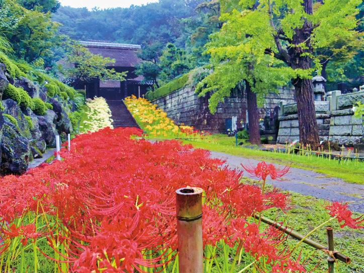 【見頃は9月下旬】色とりどりの彼岸花が楽しめる《港北区新羽町・西方寺》~9月27日はライトアップも