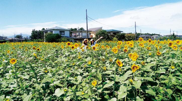 「第18回長後ひまわり祭」9月21日開催!5万本のひまわりが9月末頃まで見学できる【藤沢市】