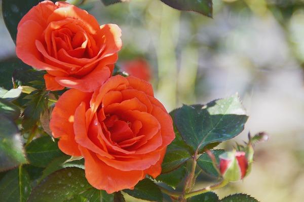 色濃く薫り高い秋バラを堪能!『秋のローズフェスタ』@小田原フラワーガーデン