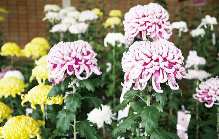 川崎で「麻生菊花大会」厚物や管物など会員が1年の栽培成果を披露