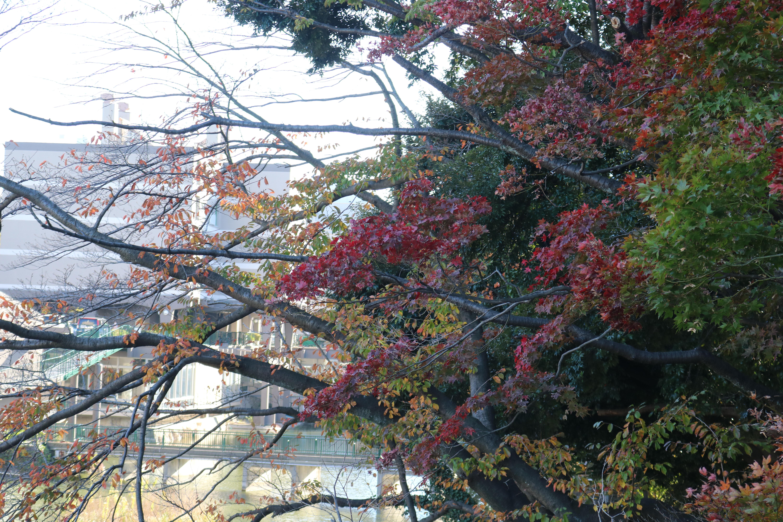 黄金色に包まれる「竹山団地」銀杏並木【横浜・緑区】