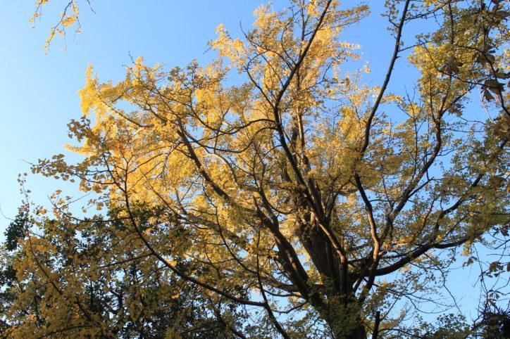 緑多き丘の自然と歴史ある常倫寺の大銀杏が黄金色に輝く【横浜市鶴見区】