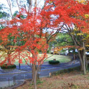 真っ赤なもみじが広がる清水ケ丘公園で散策【横浜・南区】