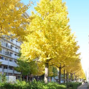 森東小学校前のイチョウが黄金色に広がる【横浜・磯子区】