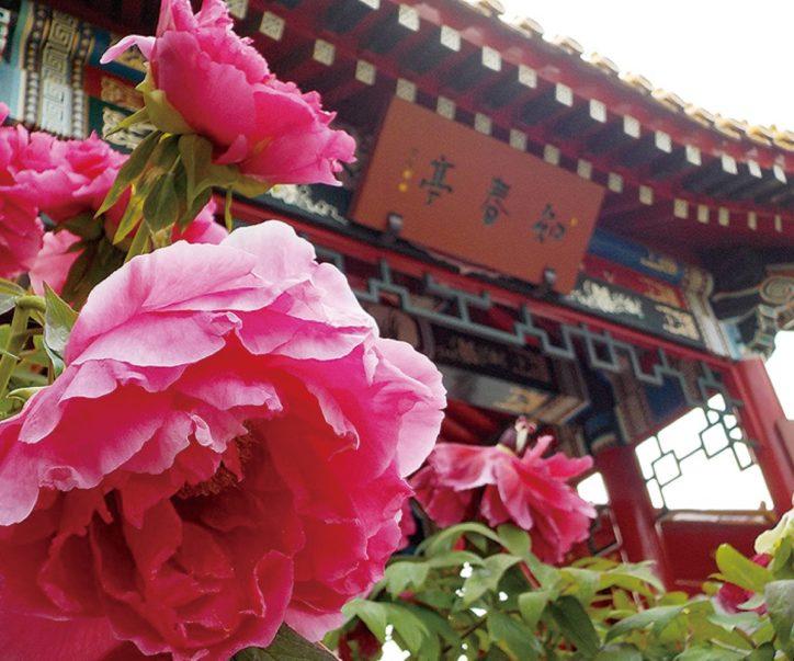 川崎・大師公園内の瀋秀園で開運厄除の花「冬咲きボタン」が見ごろ【1/4~8】