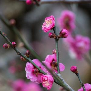 【神奈川・東京多摩 観梅スポット2021】春の訪れを知らせる梅情報集めました