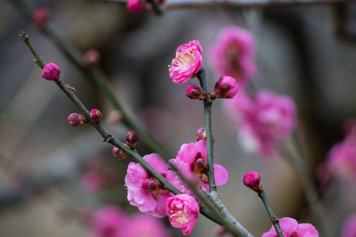 【神奈川・東京多摩 観梅スポット2020】梅の名所・梅まつり・開花情報集めました