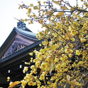 蝋梅(ろうばい)、今が見ごろ @新羽町・西方寺