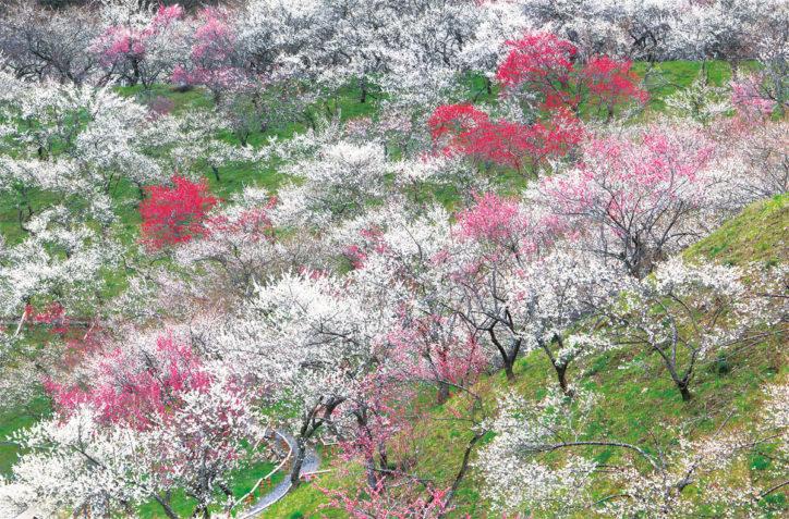 紅白に咲き誇る梅を鑑賞「2020年高尾梅郷梅まつり」八王子市甲州街道沿い