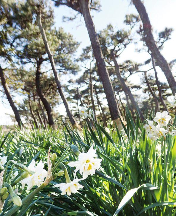 城ヶ島の水仙が開花「水仙まつり」ガラポンやスタンプラリーも