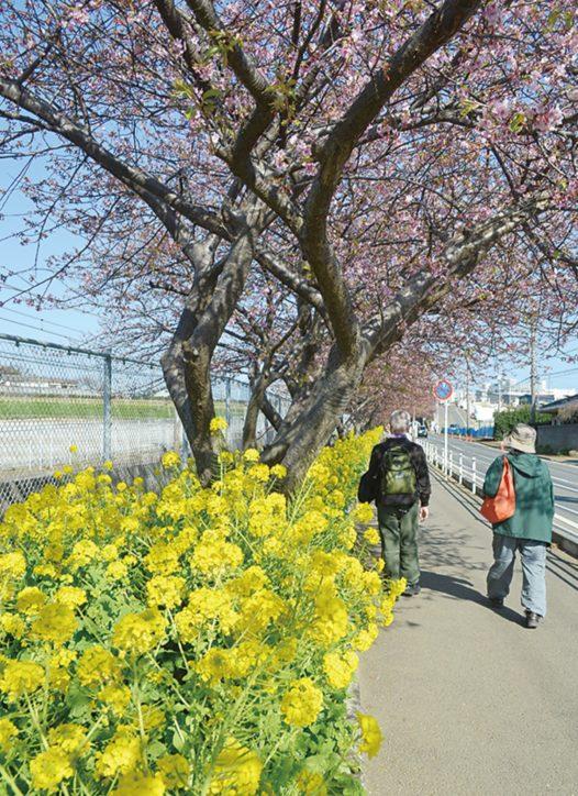 早春彩る「三浦海岸桜まつり2020」 2月8日からライトアップも