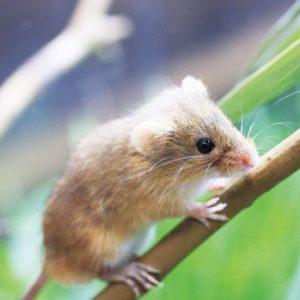 今年はワタシの年「日本で一番小さなネズミ!?カヤネズミ展示」@相模川ふれあい科学館