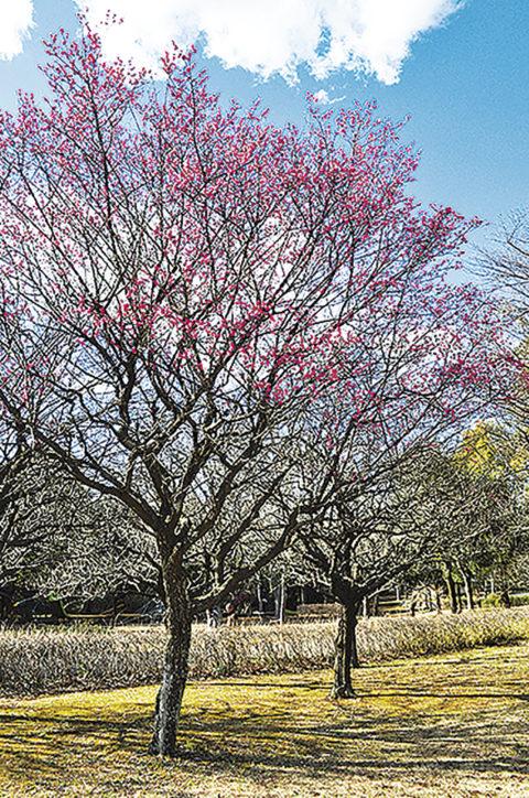 藤沢の高台に広がる大庭城址公園の「梅林」見ごろは2月中旬!
