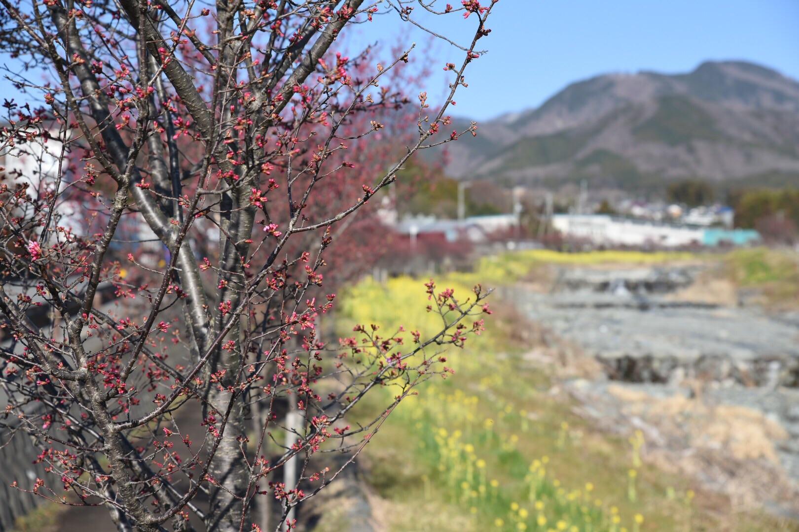 秦野・おかめ桜の定点観測2020