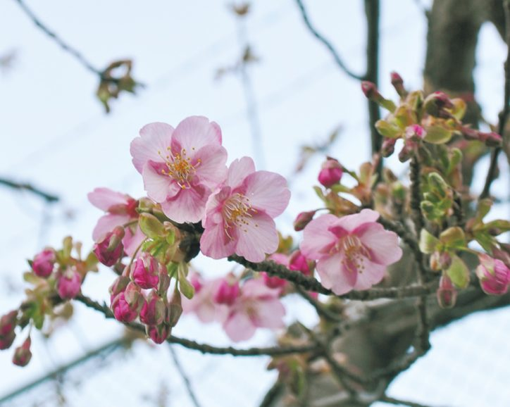 河津桜 目黒町の境川【瀬谷区】