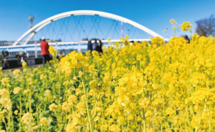 横浜・鶴見川橋そば リバーサイドガーデンで菜の花が満開