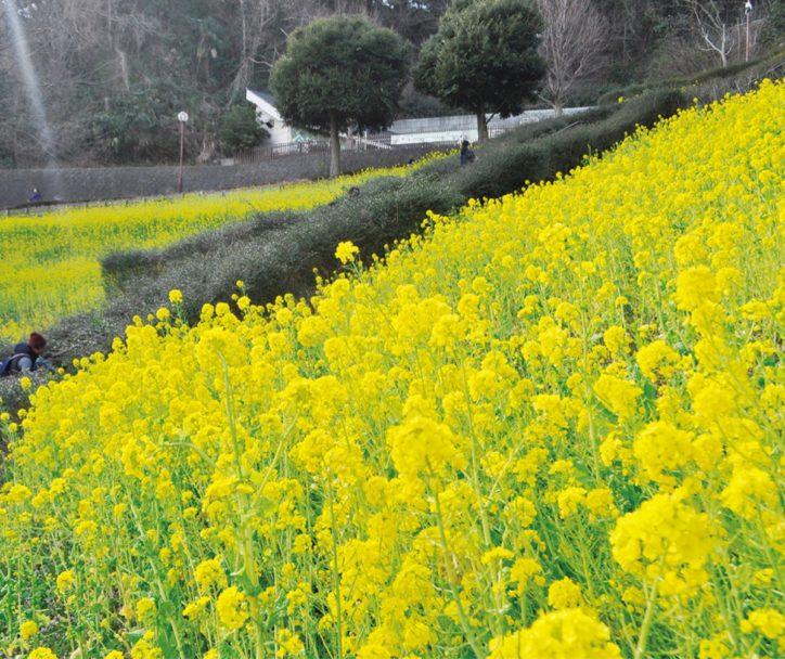 横浜・金沢自然公園に黄色の絨毯 菜の花見ごろ3月上旬まで