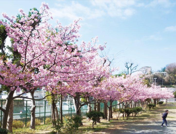 桜 東京 河津