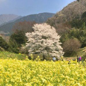 秦野・淡墨桜の定点観測2019