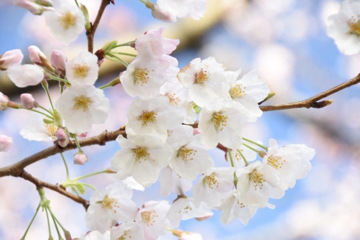 可憐に咲くカルチャーパークのソメイヨシノ