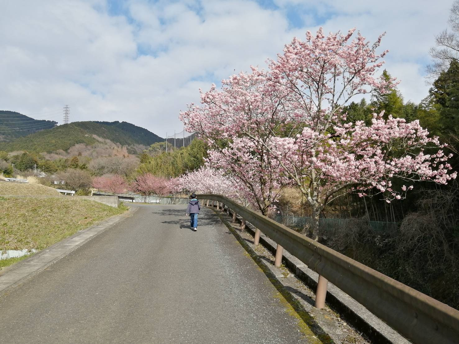 秦野・中丸沢の早咲き種「春めき桜」  夜はライトアップも