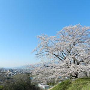ドラマの撮影にも使われる小田原の丘に咲く見事な「中河原配水池の桜」
