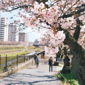 【2021年戸塚桜まつり中止】横浜・戸塚駅周辺 柏尾川沿いの桜並木