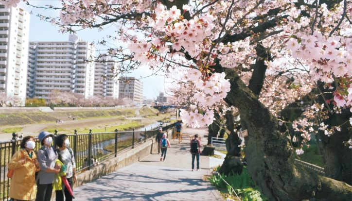 横浜・戸塚駅周辺 柏尾川沿いの桜並木