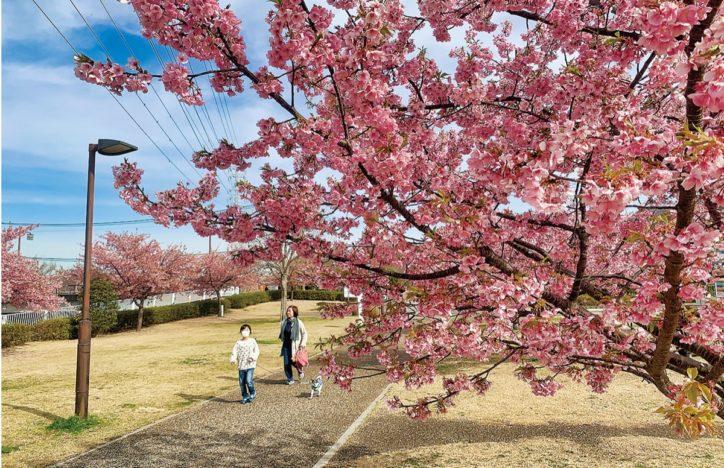 河津桜が見ごろ!引地川親水公園【藤沢市】
