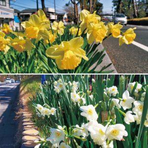 大磯町・東海道松並木の「水仙ロード」は甘い香りに包まれて咲き誇る