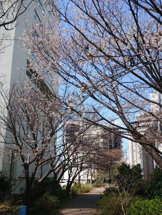 新田間川緑地の早咲き桜花開く【横浜駅西口】