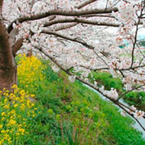 小田原から富士山も観られる、のどかな穴場的桜の名所!「富士見の桜土手」