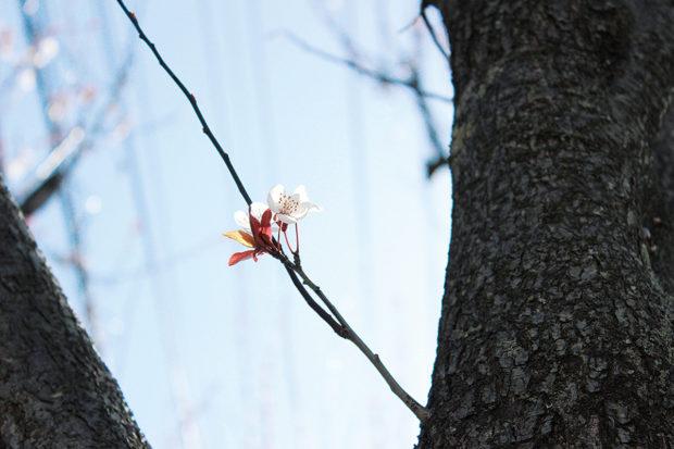 大和市「ふれあいの森」の桜