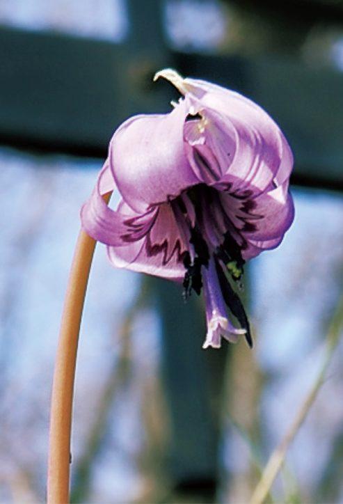 山の妖精カタクリの花をめでる 町田かたかごの森<3月27日から10日間限定>
