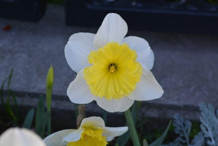 春の日差しに黄色が鮮やかな水仙【横浜・アメリカ山公園】