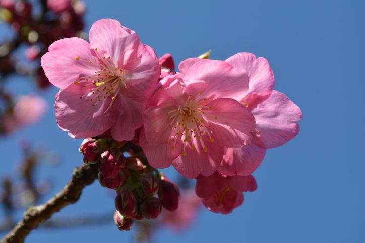 横浜・本牧山頂公園の「ヨコハマヒザクラ」が開花!