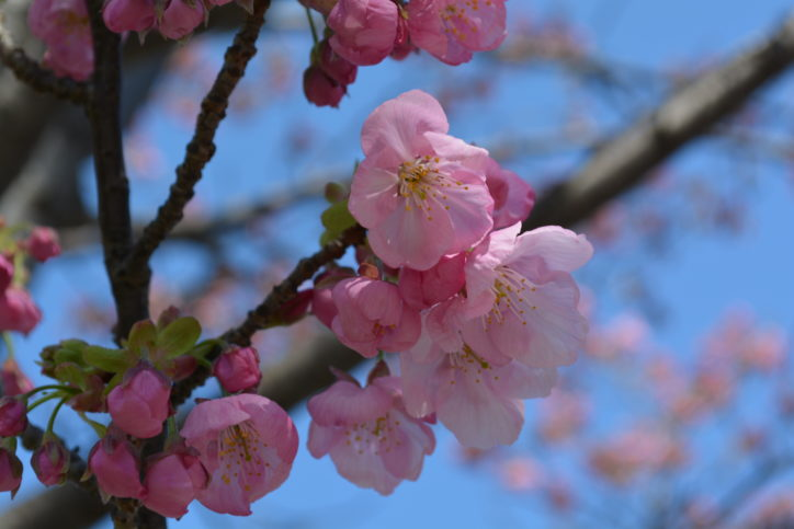 陽光桜(ヨウコウザクラ)【横浜市役所】
