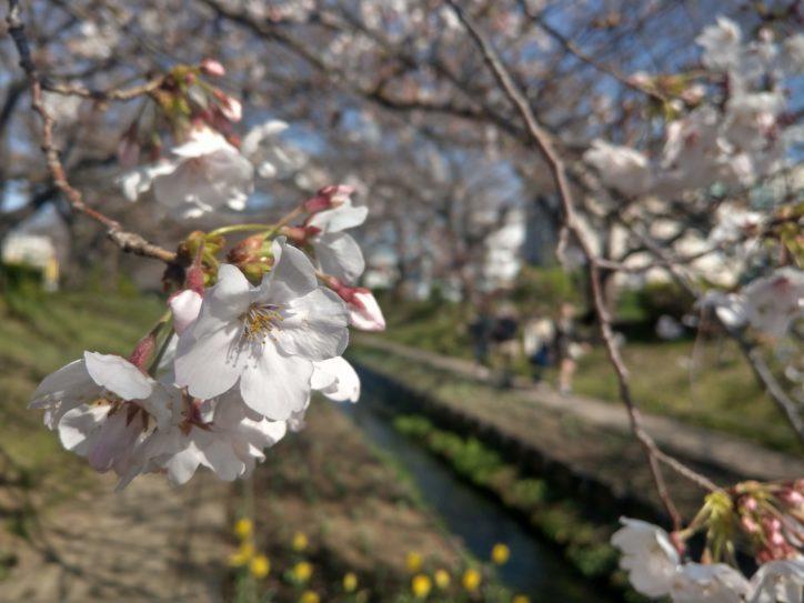 江川せせらぎ緑道で桜やチューリップが春の訪れを告げる【横浜・都筑区】