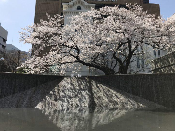 横浜の開港の歴史を感じながらソメイヨシノを満喫【横浜・開港広場公園】