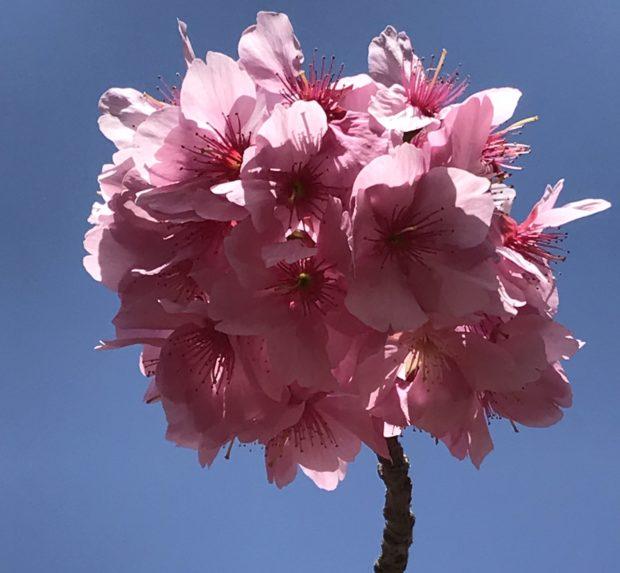 濃いピンク色で可愛い横浜緋桜と色鮮やかなチューリップが咲き誇る【横浜公園】
