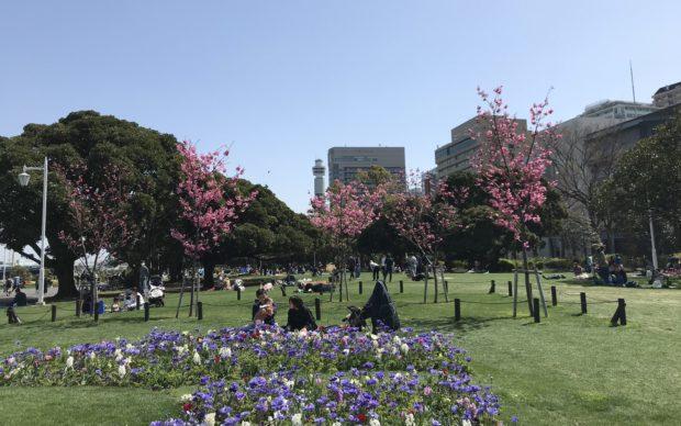 枝垂れ桜など約20本の桜が咲き誇る!海と空と花々に囲まれて山下公園を散策