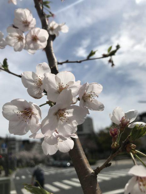 本牧通りでソメイヨシノが満開!桜色に賑わう【横浜・中区】