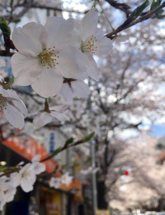3月中旬頃から~八王子市南大沢周辺で桜が見頃を迎える
