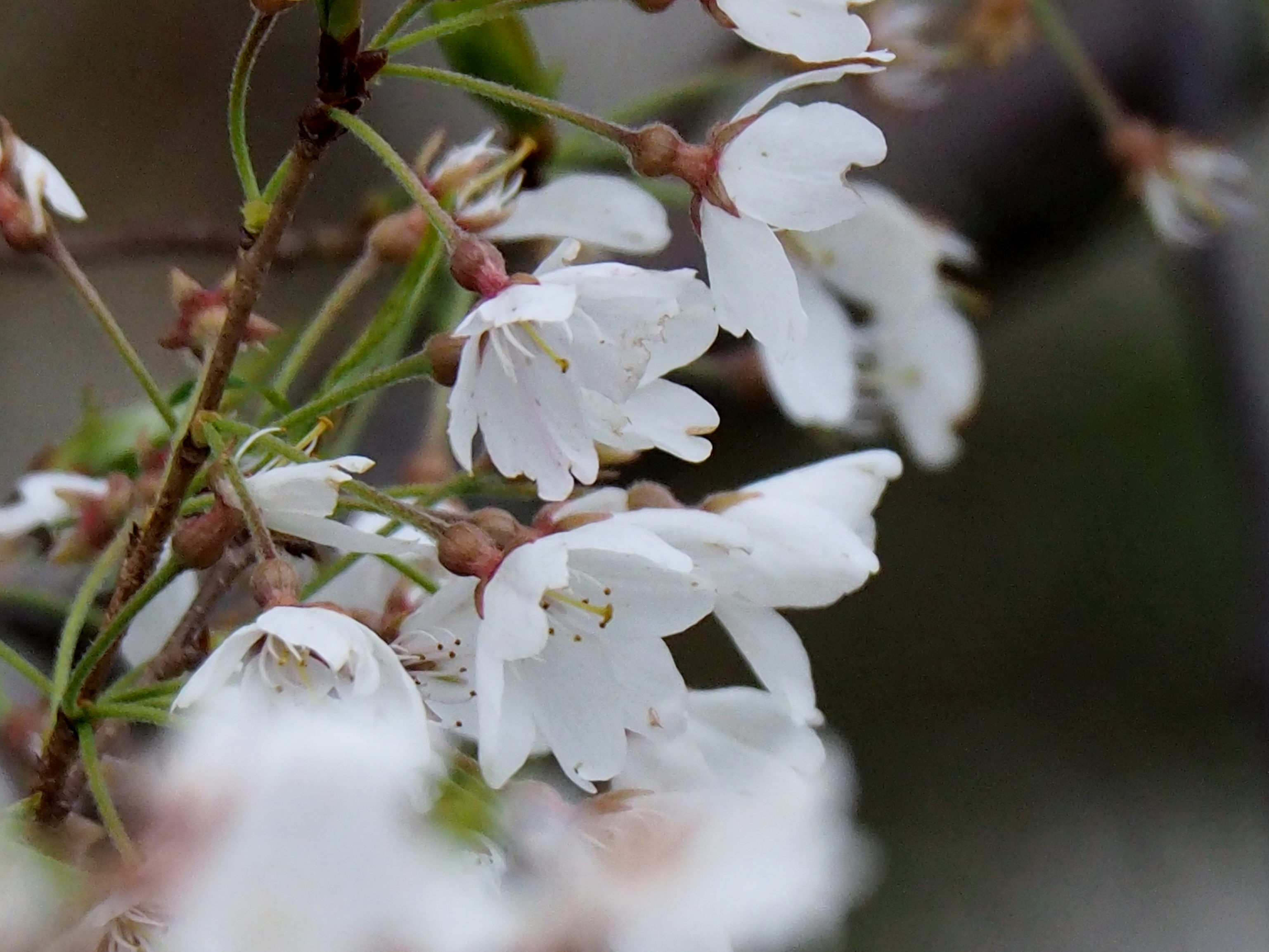 桜 2020 薄墨