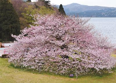 樹齢約100年、箱根園の一本桜