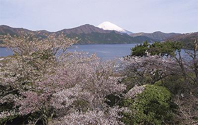 恩賜箱根公園 離宮跡地に300本の桜