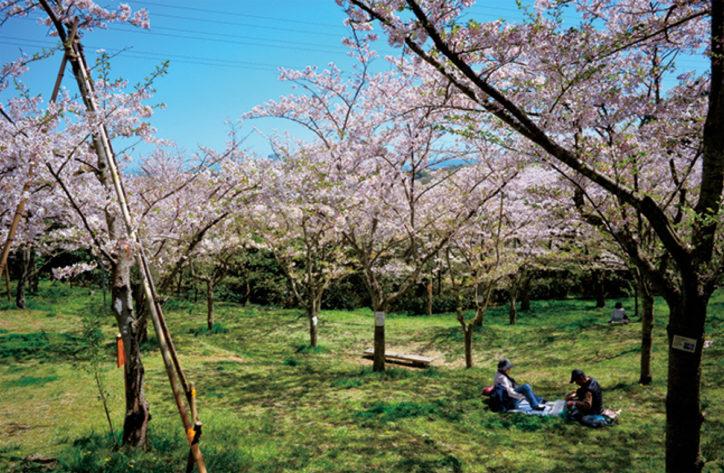 三浦按針ゆかりの地、横須賀「塚山公園」で静寂の桜見物